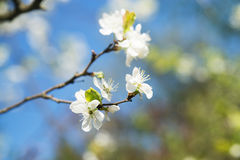 Apple tree blossom flower. Macro. Stock Photos