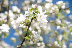 Apple tree blossom flower. Macro. Royalty Free Stock Photos