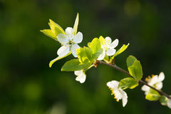 Apple tree blossom, flower. Spring. Sunny day Stock Image