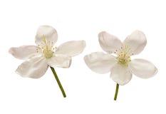 Apple tree blossom flower. On white background stock photos