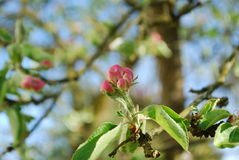 Apple tree blossom. Flowers from an apple tree begin to blossom Stock Photos