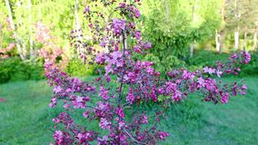 Apple tree blossom flowers close-up camera shifting parallax effect. Garden green background dolly in from defocus to focus. Lilac flowers apple-tree. Sunny stock video footage