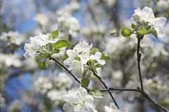 Apple tree blossom with flying bee. Small bee flying around white blooming flowers of apple tree in summertime Royalty Free Stock Photo