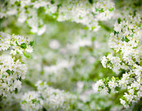 Apple tree blossom frame very high resolution Stock Photo