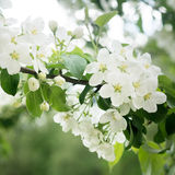 Apple tree blossom on green leafs background. Close up Royalty Free Stock Photography