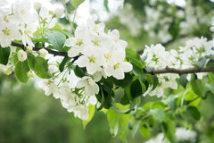 Apple tree blossom on green leafs background. Close up Stock Image