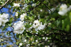 Apple tree in blossom, honey bee collecting nectar from a flower. Garden in a summer season. Stock Photography