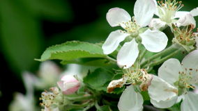 Apple Tree Blossom stock video