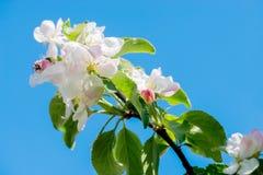 Apple tree blossom, macro Stock Photos