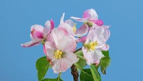 Apple tree blossom macro timelapse on blue