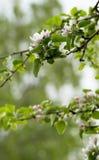 Apple tree blossom Royalty Free Stock Image