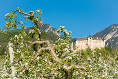 Apple tree blossom. Apple Orchards in spring time in the countryside of Non Valley Val di Non, Trentino Alto Adige, northern Ita royalty free stock images