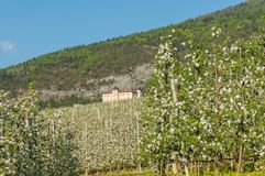Apple tree blossom. Apple Orchards in spring time in the countryside of Non Valley Val di Non, Trentino Alto Adige, northern Ita stock images