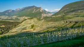 Apple tree blossom. Apple Orchards in spring time in the countryside of Non Valley Val di Non, Trentino Alto Adige, northern Ita. Ly. Spring landscape stock image
