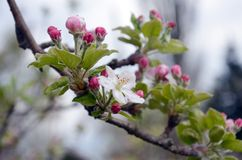 Apple tree in blossom Royalty Free Stock Photo