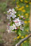 Apple tree in blossom Stock Photo