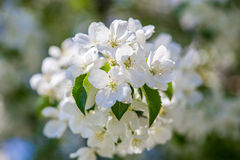 Apple tree blossom Royalty Free Stock Image