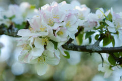 Apple tree blossom Royalty Free Stock Photos