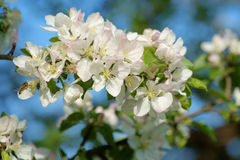 Apple tree blossom Stock Images