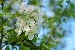 Apple tree blossom Royalty Free Stock Photos