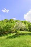 Apple tree blossom, portrait Stock Photography