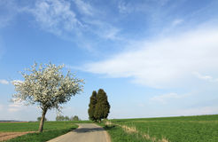 Apple tree blossom by the road. Apple tree blossom in spring time close to juniper twin-tree Stock Photography