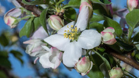 Apple tree blossom. With some yellow stamens Stock Photo