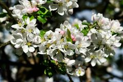 Apple tree in blossom Stock Photos