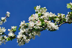 Apple tree in blossom Royalty Free Stock Photos