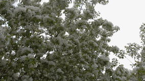Apple tree blossom in spring. Apple tree blooming in sping. Wind stirring branches with white flowers stock video footage