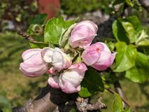 Apple tree blossom in spring royalty free stock photo