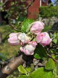 Apple tree blossom in spring stock photography