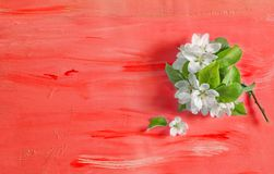 Apple tree blossom spring flowers coral watercolor background. Apple tree blossom spring flowers on coral watercolor background royalty free stock photos