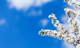 Apple tree blossom in spring. Over blue sky background royalty free stock photography