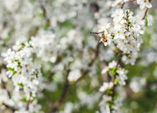 Apple tree blossom in spring. Over soft background royalty free stock photo