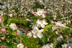 Apple tree blossom, spring season in fruit orchards in Haspengouw agricultural region in Belgium, close up. Apple tree blossom, spring season in fruit orchards stock photos