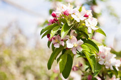 Apple tree blossom in spring time Stock Photo