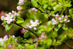 Apple Tree in Blossom Royalty Free Stock Image