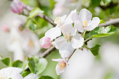 Apple tree in blossom Stock Photography