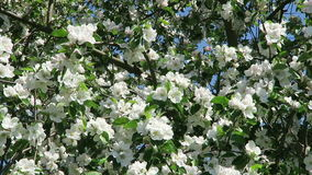 Apple tree blossom in springtime with sunshine.  stock footage