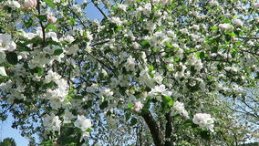 Apple tree blossom in springtime with sunshine.  stock video