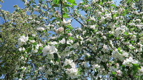 Apple tree blossom in springtime with sunshine. Apple tree blossom in springtime with sunshine stock video footage