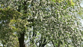 Apple tree blossom in springtime with sunshine. Apple tree blossom in springtime with sunshine stock video