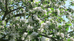 Apple tree blossom in springtime with sunshine.  stock video footage