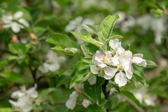 Apple tree blossom twig with leaves Royalty Free Stock Images