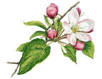 Apple tree in blossom. Watercolor with apple tree in blossom