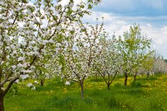 Apple Tree Blossom with White Flowers Royalty Free Stock Image