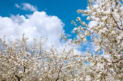 Apple Tree Blossom with White Flowers Stock Image