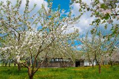 Apple Tree Blossom with White Flowers Stock Images