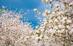 Apple Tree Blossom with White Flowers Stock Photography